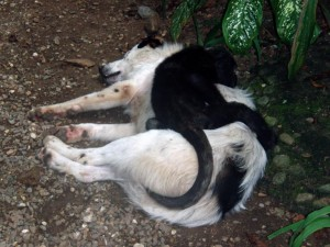 Dog tired and monkey too - monkey sleeping on a sleeping dog